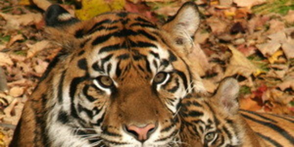 Save the Sumatran Tiger. I will only purchase products that use sustainable palm oils.(RSPO)