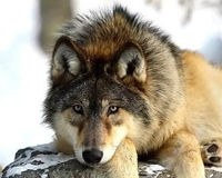 Stop Plans for Michigan Wolf Slaughter