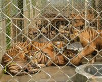Demand Permit for Tiger Breeding