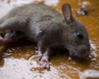Tell NYC- Ban Glue Traps in Parks