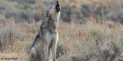 Make Sure FWS Gets the Message: Americans Want Wolves to Stay Protected!