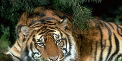 Save the South China Tiger