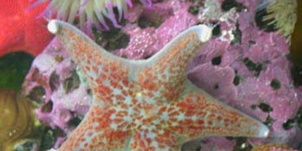 Enregistrer Pacifique Starfish de l'extinction