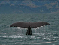 Halt Oil Exploration in Grey Whale Habitat
