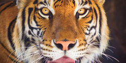 Urge China to Continue its ban on the Tiger Trade