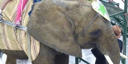 Retire Nosey the Elephant from the Circus Industry
