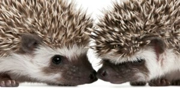 Image result for hedgehog fight