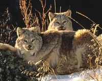 Protect the Lynx from XL Pipeline