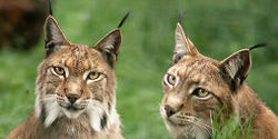 Protect Lynx in France