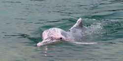 Save the Pink Dolphin from Extinction in Hong Kong and Taiwan!