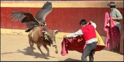Stop Using Endangered Condors for Bullfighting in Peru