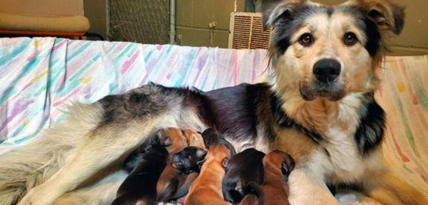 Dog, Casey feeding her puppies