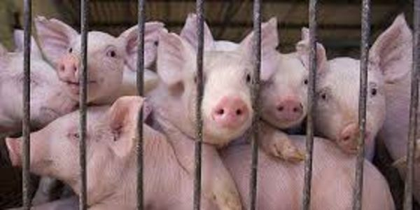 Ask the University of Washington to End the Use of Pigs for Paramedic Training