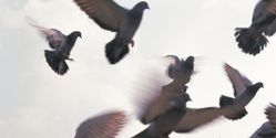Ban Pigeon Racing Nationwide!