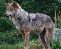 Secretary Vilsack: Investigate the Wolf-Kill Cover-Up