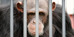 Support Funding for Retired Research Chimps