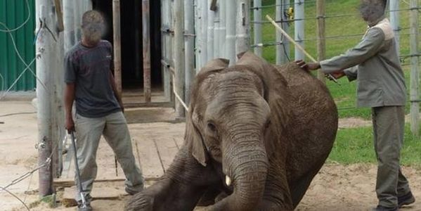 DEMAND ELEPHANTS OF EDEN STOP THEIR HORRIFIC CRUELTY TO ELEPHANTS