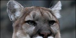 Save the New Mexico Cougar