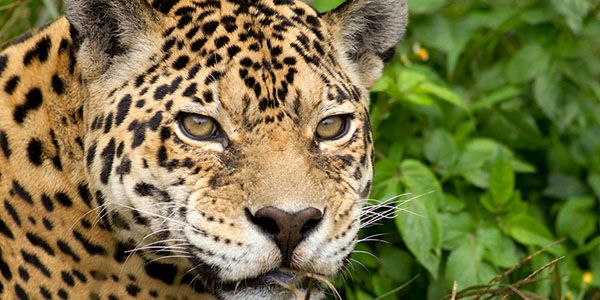 STOP Poaching Amur Leopards