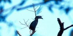 Ensure that the Sulu Hornbill can survive