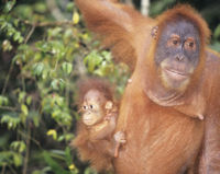 Indonesia - Don't Let Palm Oil Company Destroy Orangutan Habitat