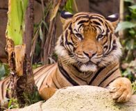 Save the Malayan Tiger