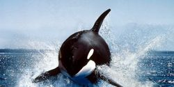 Free Lolita the Orca - Slave to Entertainment !