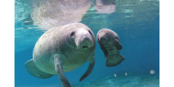 Protect Endangered Manatees from Deadly Pollution