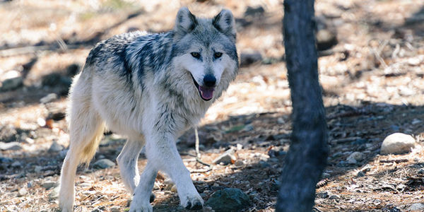 Tell Congress: Keep Your Hands Off Our Wolves