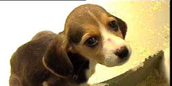 Save beagles from laboratory breeding farm in Yorkshire