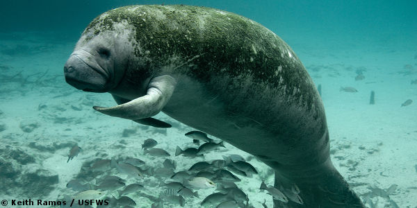 Demand Sanctuary for Florida Manatees!