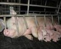 Ban cruel and debilitating sow stall and farrowing crates