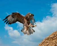 Defra - Don't Spend Taxpayers' Money on Harassing Buzzards