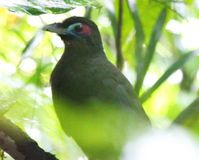 Save the Sumatran Ground Cuckoo
