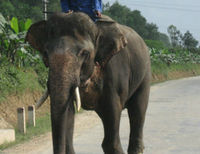 Save Elephants in Vietnam from Extinction
