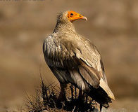 Save the Vulture from Extinction