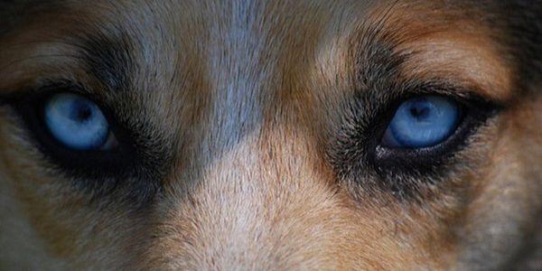 Dog's blue eyes
