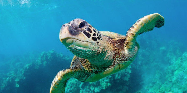 Help Save Sea Turtles from Extinction