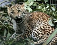 Save the Javan Leopard from extinction