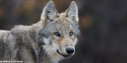Demand that FWS Withdraw their Gray Wolf Delisting Proposal!