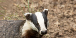Stop Badger Slaughter in the UK