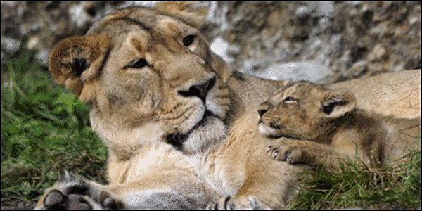 Ban the Consumption of Lion Meat in Illinois