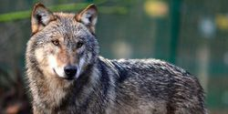 Urgent: Last Chance to Protect America's Wolves