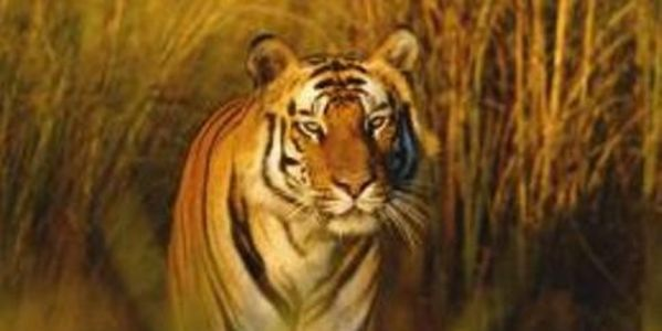 Enforce Laws in India That Bans Citizens From Bengal Tiger Habitats