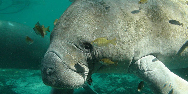 FWS: Don't Strip Manatees of Their Endangered Status