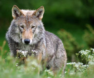 Stop Killing Wolves in Finland- 135 Left
