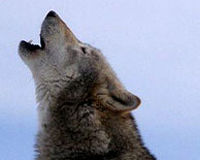 Save Oregon's First Family of Wolves