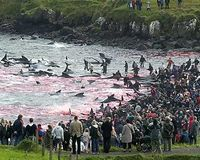 Stop the Faroe Islands Pilot Whale Massacre!