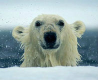 End Trade in Polar Bear Products
