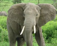 Stop Killing Elephants for Ivory